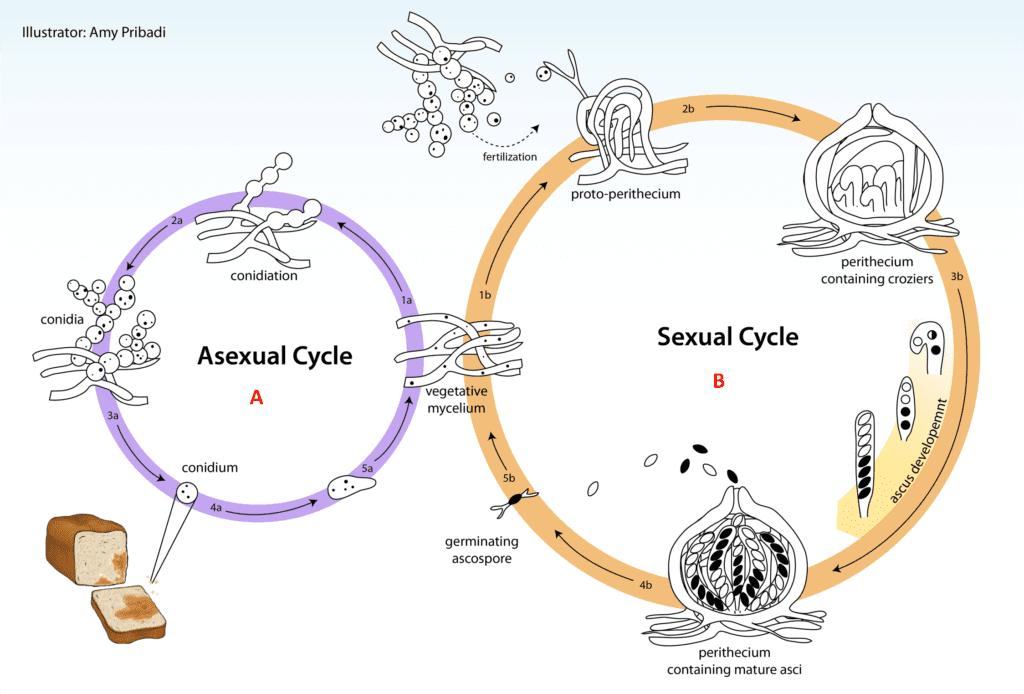 """Ciclo vitale di N. crassa. A) Il micelio aploide si riproduce asessualmente mediante due processi: proliferazione del micelio esistente e formazioni di conidi che possono essere dispersi e poi germinare per produrre nuovo micelio. B) Nel ciclo sessuato, l'accoppiamento avviene solo tra ceppi con tipo di accoppiamento diverso, """"A"""" e """"a"""". La fecondazione si verifica dal passaggio dei nuclei dei conidi nel protoperitecio del ceppo con tipo di accoppiamento opposto attraverso il tricogino. Le fusione dei nuclei si realizza nel protoperitecio per formare lo zigote."""