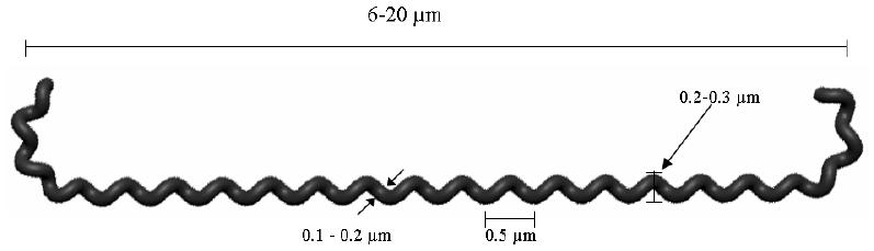 Figura 1 - Aspetto schematico della L. interrogans