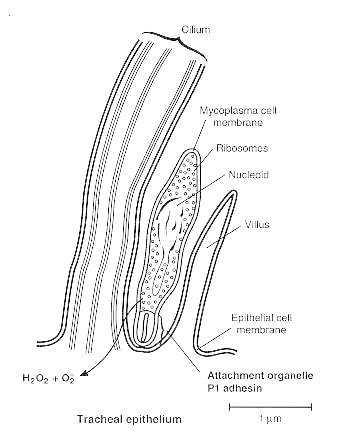 schema di adesione di M. pneumoniae al'epitelio polmonare
