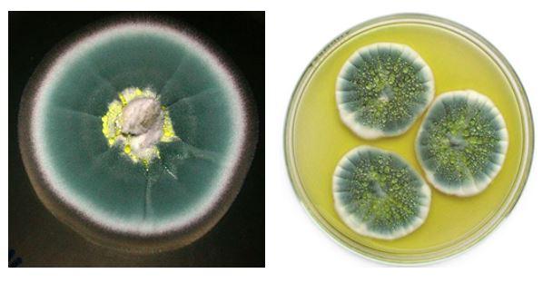 Figura 2 – Aspetto delle colonie di P. chrysogenum