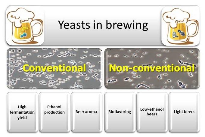differenza tra ceppi convenzionali e non convenzionali nella fermentazione della birra