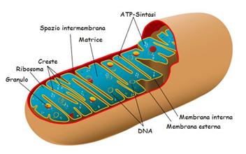 Rappresentazione di un mitocondrio