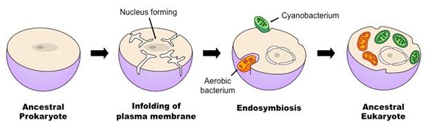 In questa immagine viene raffigurato sia un cianobatterio sia un batterio aerobico entrare dentro una cellula. I loro destini saranno diversi: il primo diverrà un cloroplasto, capace di ricavare energia tramite fotosintesi, mentre il secondo un mitocondrio, organello responsabile della fosforilazione ossidativa.