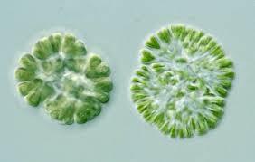 Figura 3 - Cianoficee : Gomphosphaeria