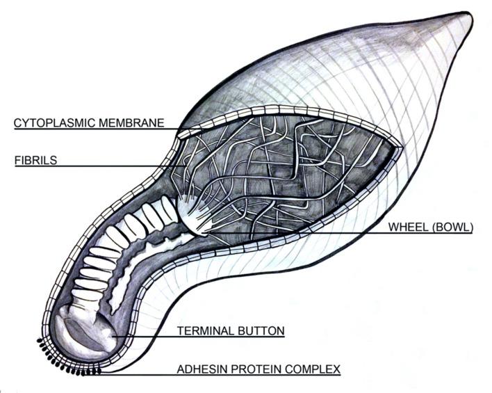 struttura cellulare di M.pneumoniae con focus sull'organello di adesione