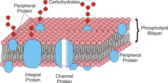 Figura 5: Le proteine di membrana, in base alla loro disposizione nel doppio strato fosfolipidico, possono essere distinte in proteine integrali o periferiche.
