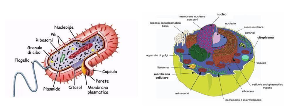 Figura 1: La membrana plasmatica è presente sia nelle cellule procariote, che nelle cellule eucariote. In entrambi i casi ha il compito di delineare i confini cellulari, contenere il citoplasma e gli organelli utili per le funzioni vitali della cellula, e consentire gli scambi di molecole con l'ambiente esterno.
