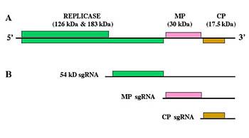 Strutturagenetica del virus del mosaico del tabacco.
