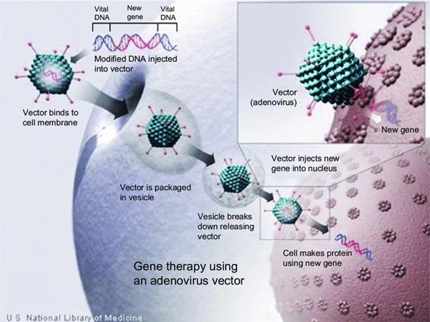 vettori adenovirali per la terapia genica