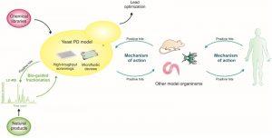 modello di parkinson in s. cerevisiae