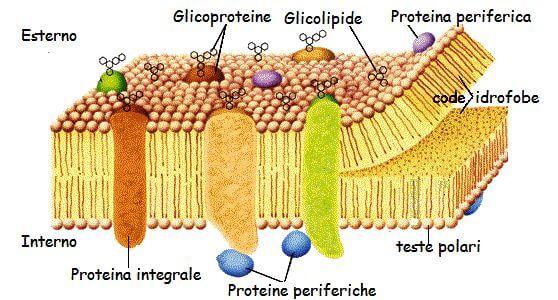 Figura 2: La membrana plasmatica è costituita da un doppio strato di fosfolipidi, che si dispongono in modo tale che le code non polari e idrofobe siano rivolte verso l'interno, e quindi lontano dall'ambiente acquoso. Immerse nel mosaico fluido troviamo le proteine di membrana, che svolgono funzioni diverse, come la funzione di trasporto, strutturale, enzimatica.