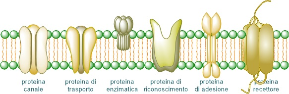 Figura 6: Le proteine proteine possono svolgere funzioni importanti per la vita della cellula.