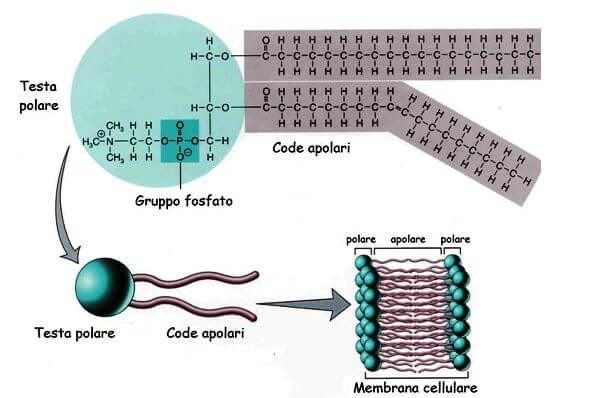 Figura 3: Struttura di un fofolipide. Da sinistra, la testa polare è formata da una molecola polare (gruppo sostituente, variabile a seconda del tipo di fosfolipide), un acido fosforico (di cui si vede il gruppo fosfato per la presenza del legame fosfodiestere) e il glicerolo. Le due code di acidi grassi si legano al primo e secondo carbonio della molecola di glicerolo.