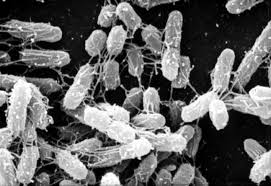 Bacteroides fragilis al microscopio ottico