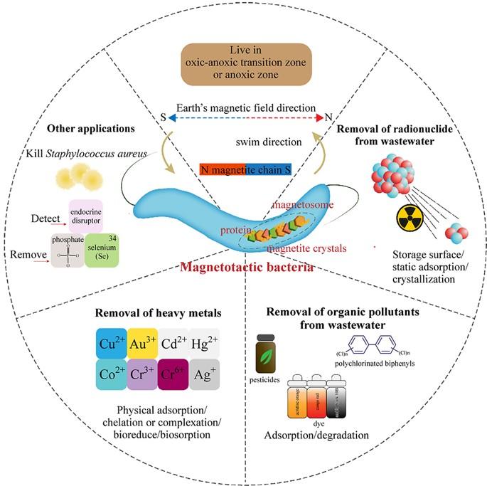 applicazioni biotecnologiche batteri magnetotattici
