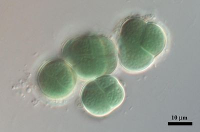 Chroococcidiopsis thermalis Geitler 1970. Image Courtesy of CCALA