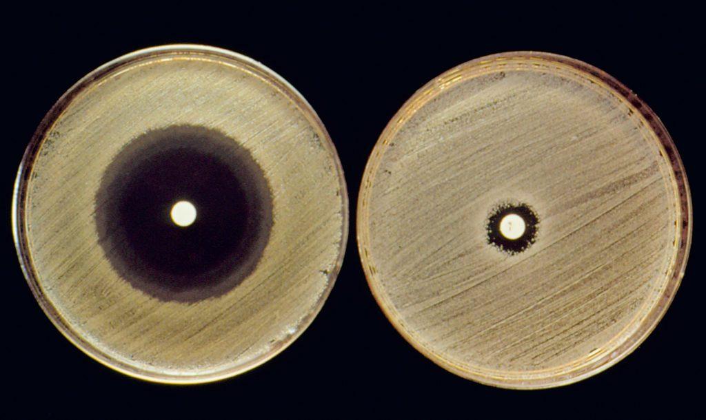 Sulle piastre di agar in figura, in presenza di un antibiotico, viene coltivato un microrganismo responsabile di un'infezione ed in seguito viene valutato il grado d'inibizione della crescita. Sulla piastra a sinistra, l'alone di inibizione causato dal farmaco è maggiore rispetto a quello presente sulla piastra a destra, ciò indica una maggiore sensibilità del microrganismo all'antibiotico utilizzato
