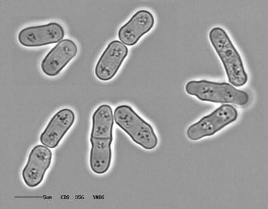 Schyzosaccharomyces pombe