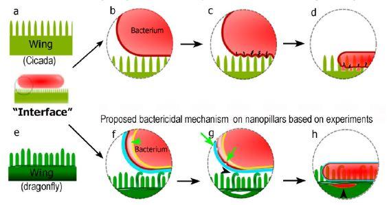 Differenza tra il meccanismo di lisi batterica sulle ali della cicala e della libellula