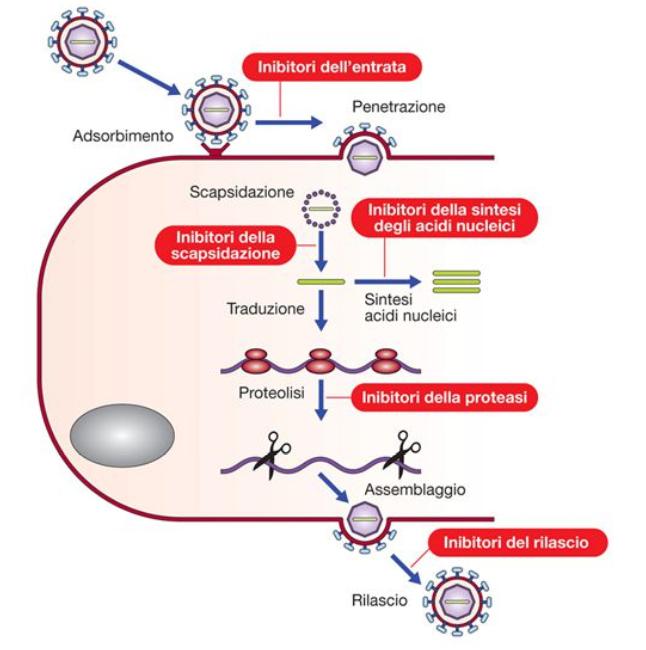 tappe del ciclo replicativo virale bersaglio degli antivirali
