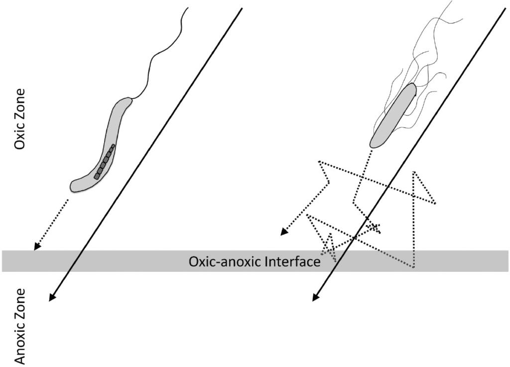 magnoaerotassi