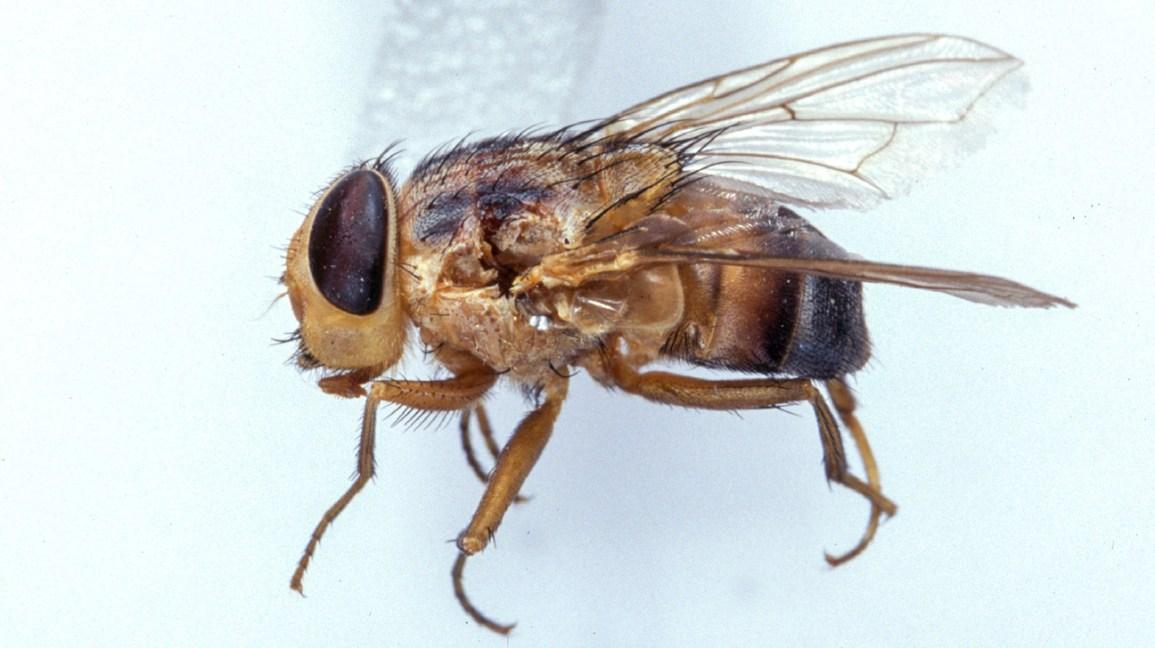 Cordylobia anthropophaga, insetto responsabile della miasi cutanea