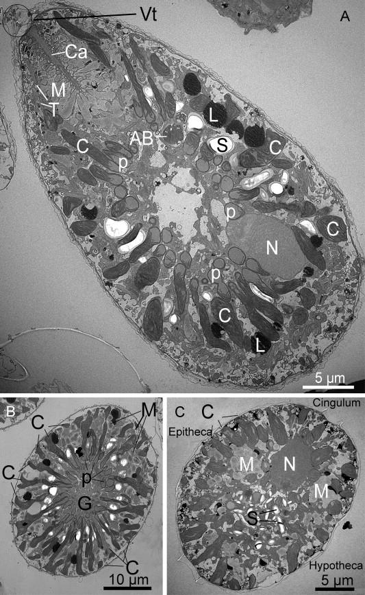 Ultrastruttura Ostreopsis ovata