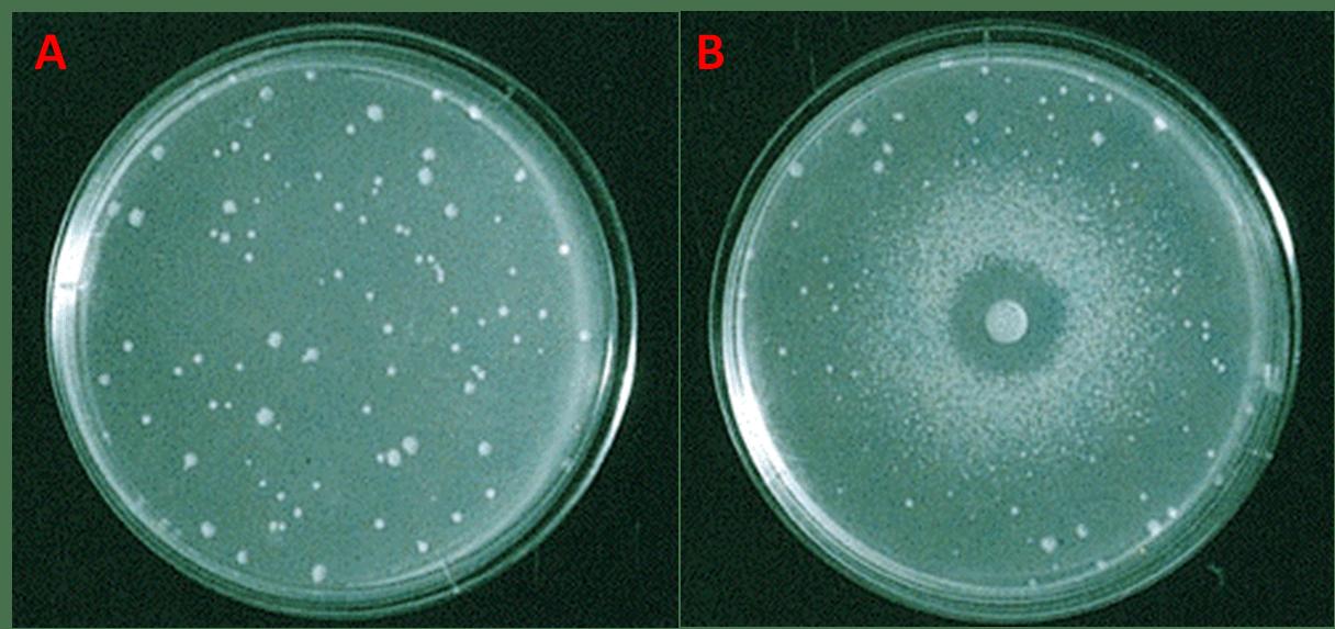 Piastre di agar su cui sono stati seminati ceppi di Salmonella incapaci di sintetizzare l'istidina (his-). Nella piastra di controllo (sinistra), priva del campione, la crescita delle colonie è avvenuta in seguito a reversione spontanea della mutazione. Nella piastra oggetto d'esame (destra) si nota che nelle aree più vicine al disco le colonie non sono cresciute a causa dell'elevata concentrazione del mutageno, mentre nelle aree più lontane la concentrazione è più bassa e ha indotto la retromutazione; più si va verso i margini della piastra e più diminuiscono le colonie retromutate [https://www.mun.ca/biology/scarr/Bio4241_Ames_Test_1.html]