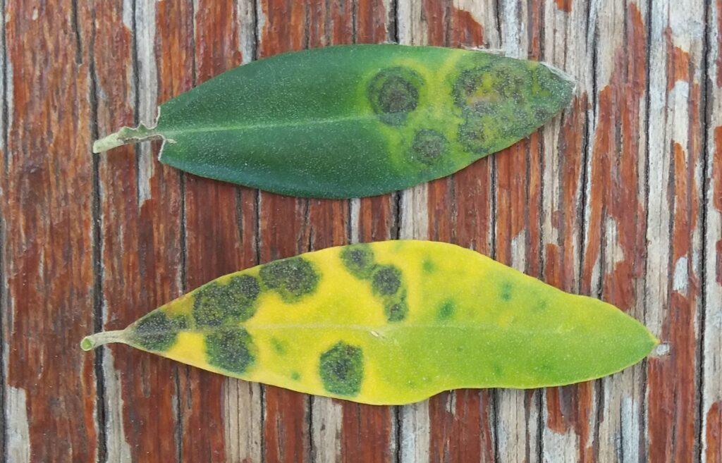 sintomi di spilocaea oleaginea su foglie