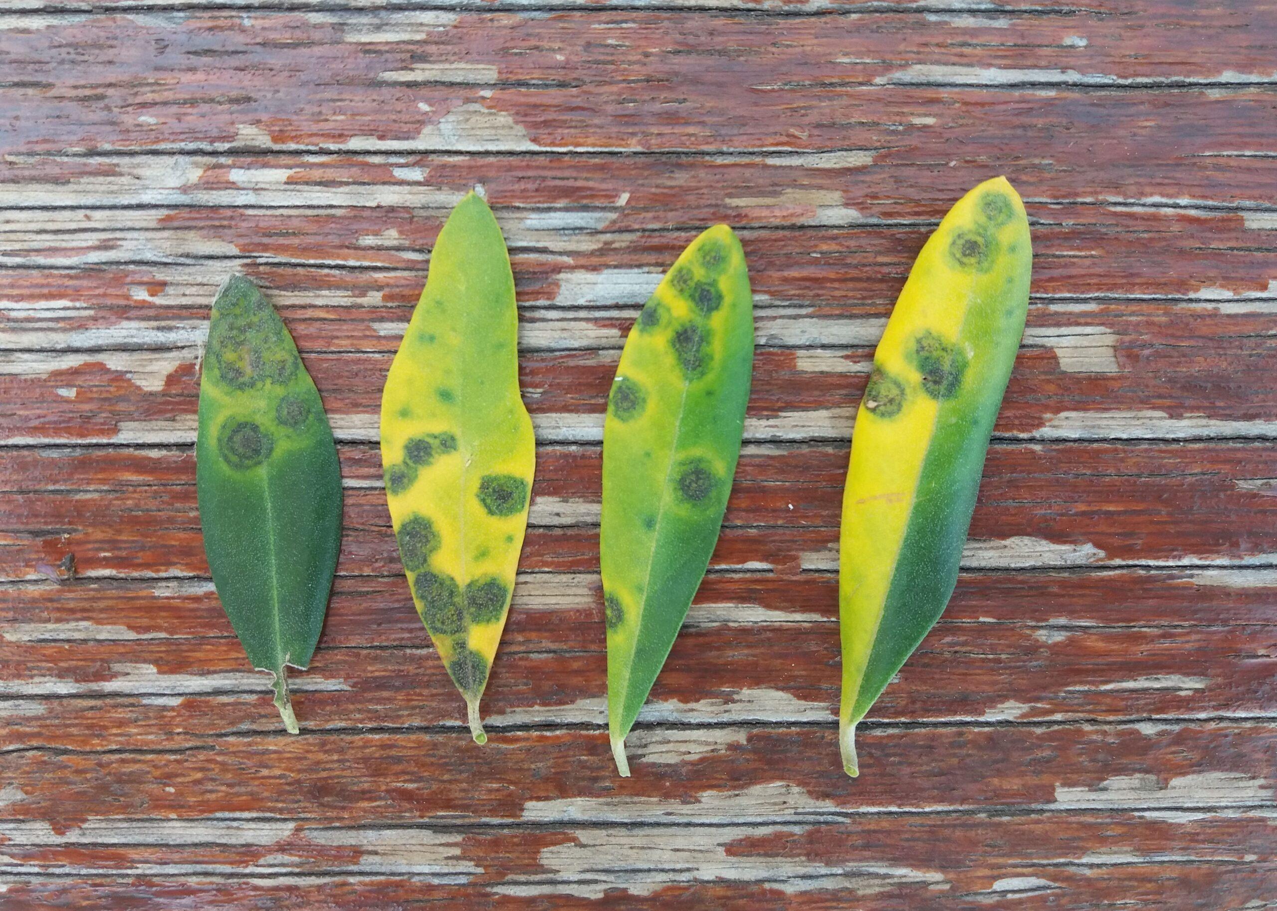 Sintomi da Spilocaea oleaginea su foglie.