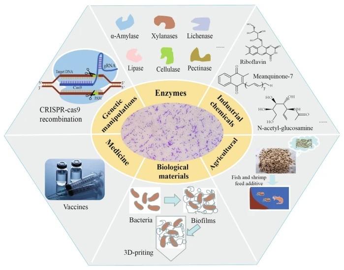 Rappresentazione schematica delle innumerevoli applicazioni della specie Bacillus subtilis come cell factory.