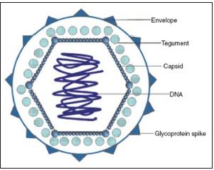 Struttura dei virus appartenenti alla famiglia degli Herpesviridae
