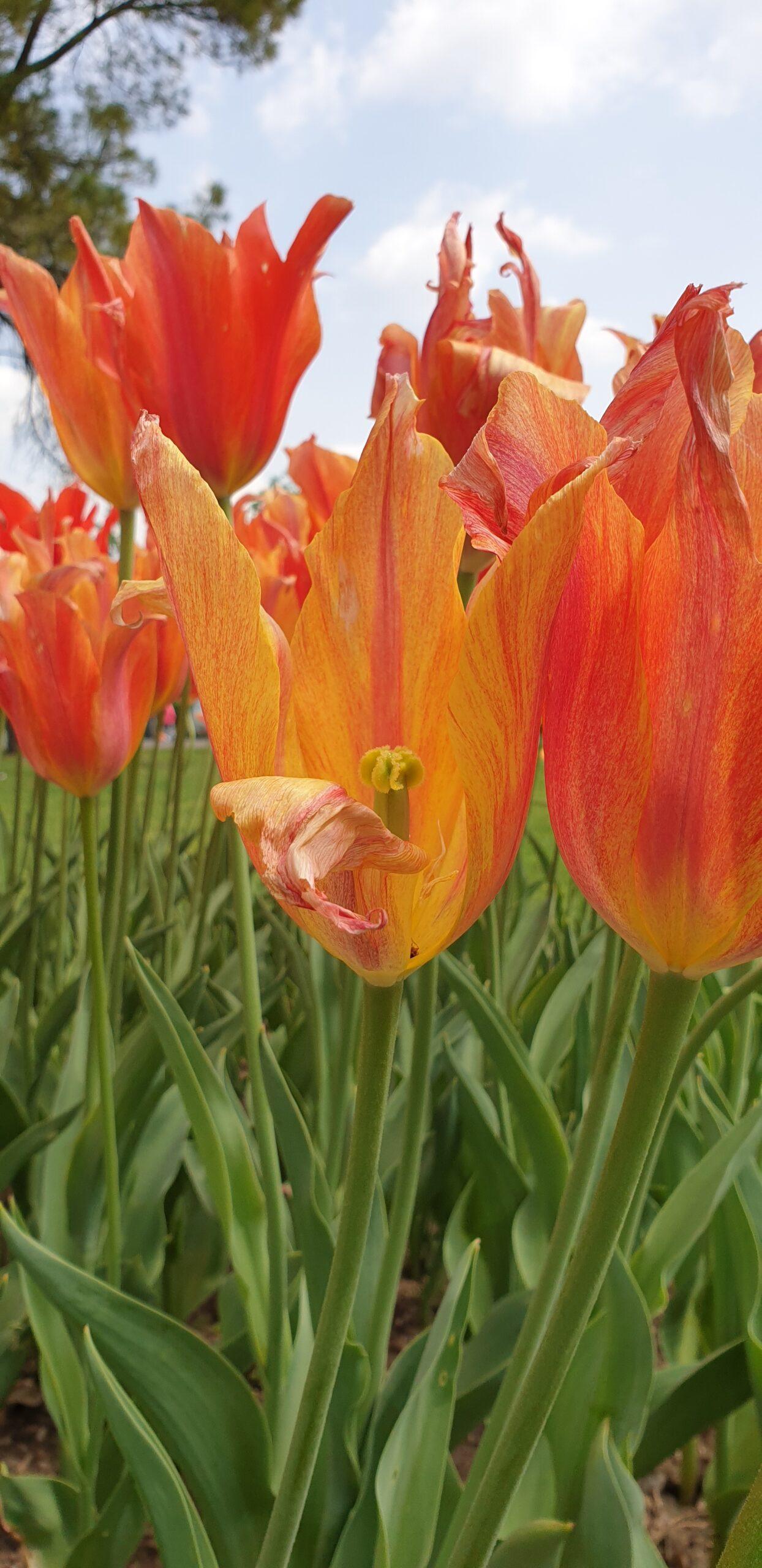 Il virus del mosaico del tulipano (Tulip Breaking Virus) colpisce molte piante erbacee da fiore, come il tulipano e il giglio [Photo: Dottoressa Beatrice Cavenago].