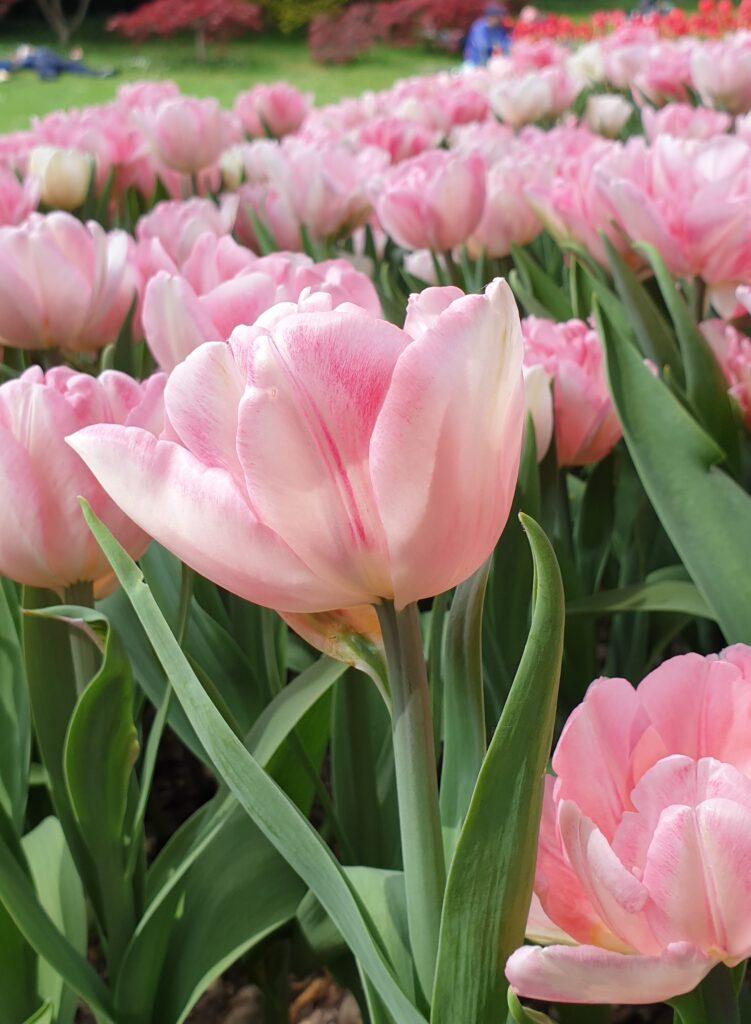 Figura 2: Tulipani rosa su cui si notano leggere sfumature sintomi di TBV [Photo: Dottoressa Beatrice Cavenago].
