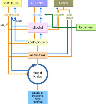 metabolismo insulina medicamento