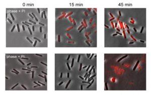 Nell'immagine è possibile vedere cosa accade in cellule che presentano retroni e cellule prive di retroni dopo infezione