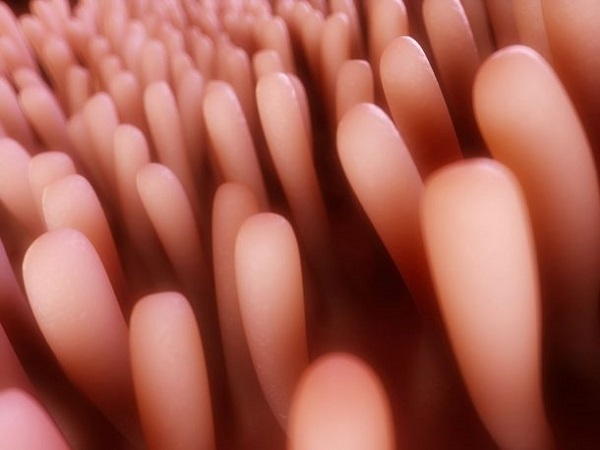 La barriera intestinale, dotata di villi nel colon, rafforza la proprie cellule con butirrato prodotto da Faecalibacterium prausnitzii.