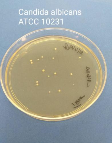 Candida albicans su TSA+LT