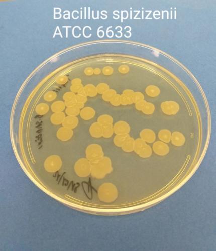 Bacillus spizizenii in TSA+LT