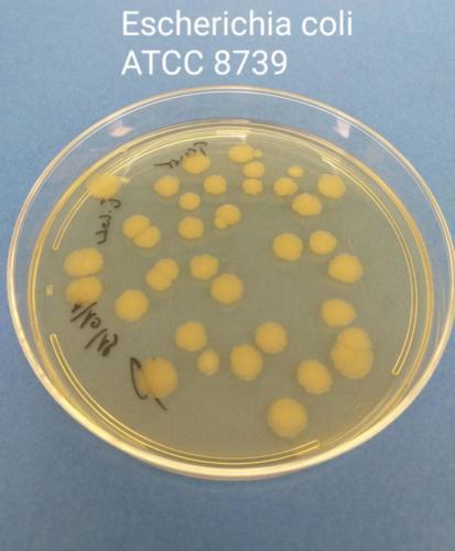 Escherichia coli in TSA+LT