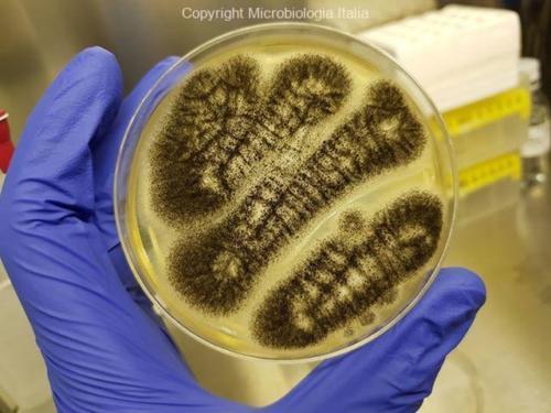 Aspergillus niger su TSA+LT