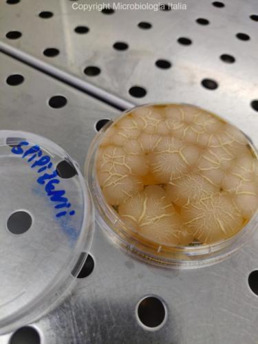 Bacillus spizizenii su TSA+LT