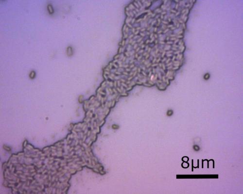Bacillus clausii al microscopio ottico