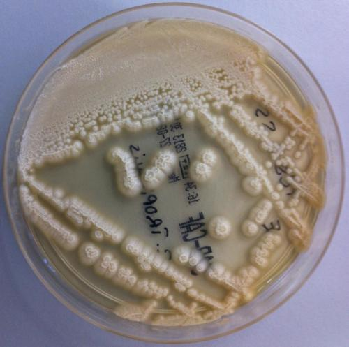 Candida tropicalis on Sabouraud Agar