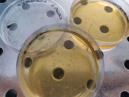 Enterococcus faecalis in m-enterococcus