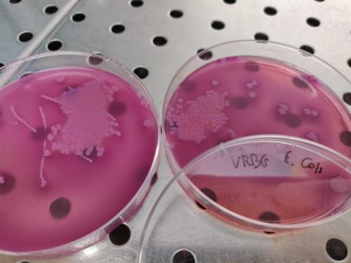 Escherichia coli in VRBG