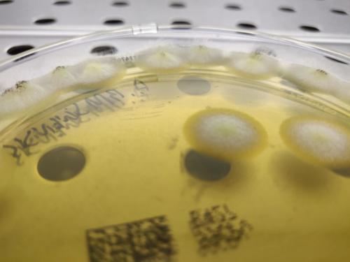 Aspergillus brasiliensis in tryptic soy agar