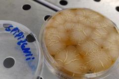 Bacillus spizizenii